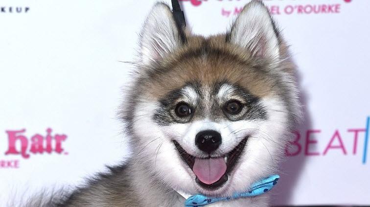 pomsky dog posing celebrity-style